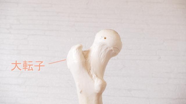 太ももの大腿骨