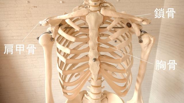 肩甲骨と鎖骨と胸骨