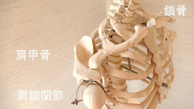 肩甲骨と鎖骨の関節・肩鎖関節