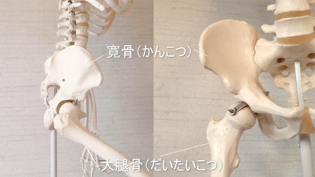 足の付け根の構造・大腿骨と骨盤