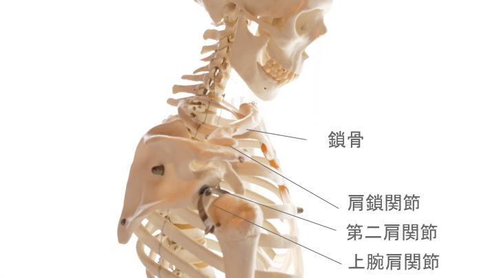 肩甲骨と関節