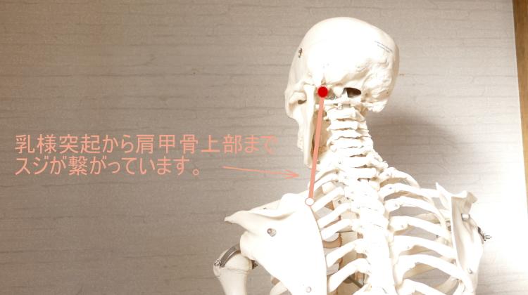 頭と肩甲骨をつなぐスジ