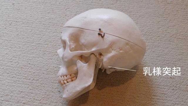 頭痛のストレッチ・乳様突起