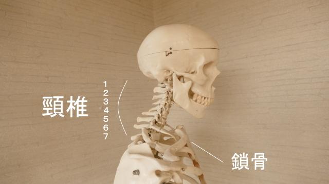 首の構造・頸椎と鎖骨