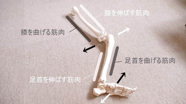 足の拮抗筋