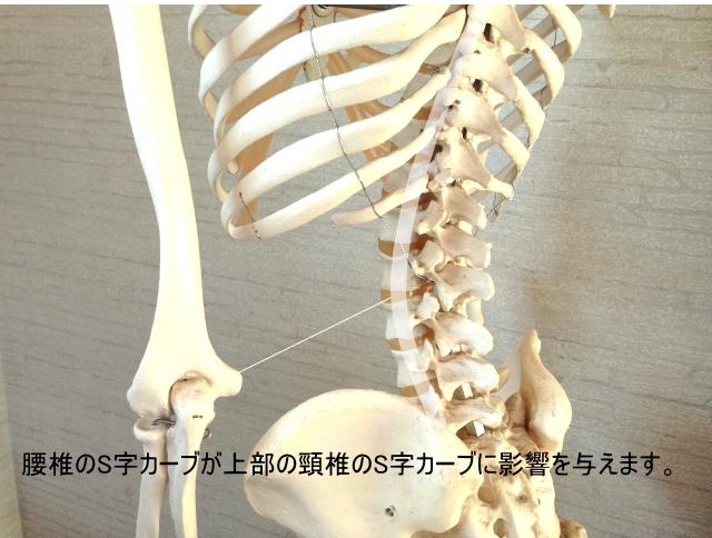 腰椎のS字カーブ