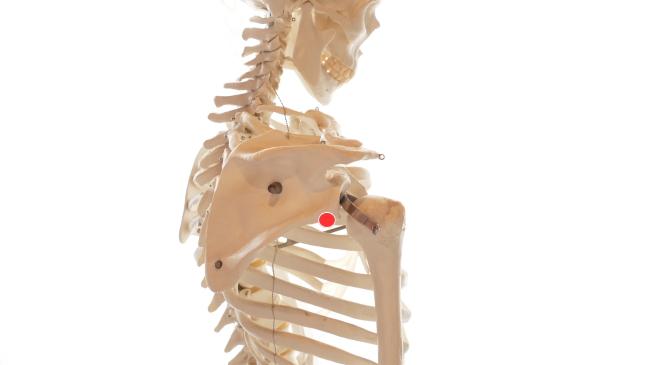 肩甲骨の側面にツボがあります。肩が上がらない、課腕を上げると肩が痛いようなときに有効です。