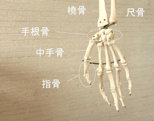 親指の骨格