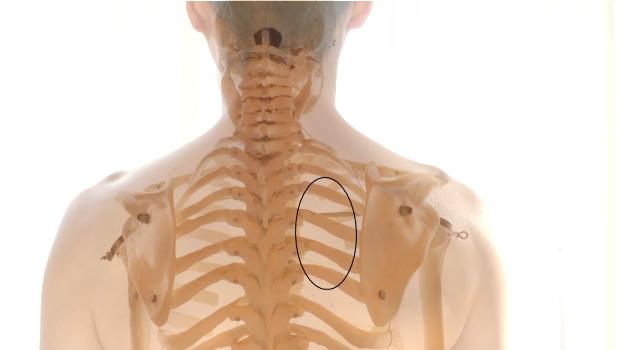 肩甲骨と背骨の間のこりやすい部分