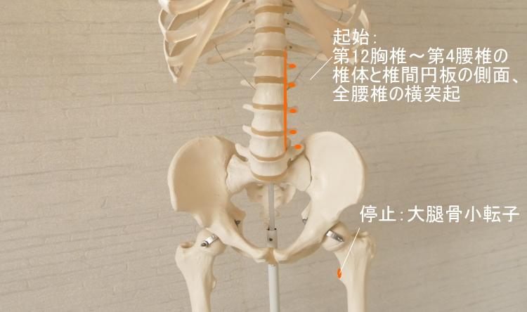 大腰筋の起始と停止