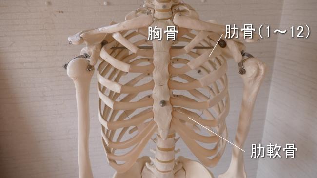 肋骨は1番から12番まであります。