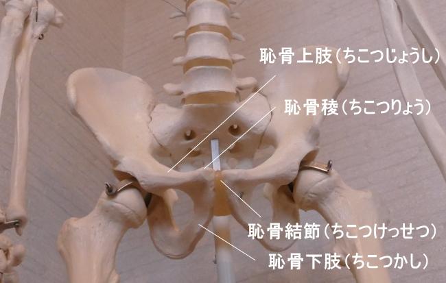 外腹斜筋が付着する恥骨の各部の名称