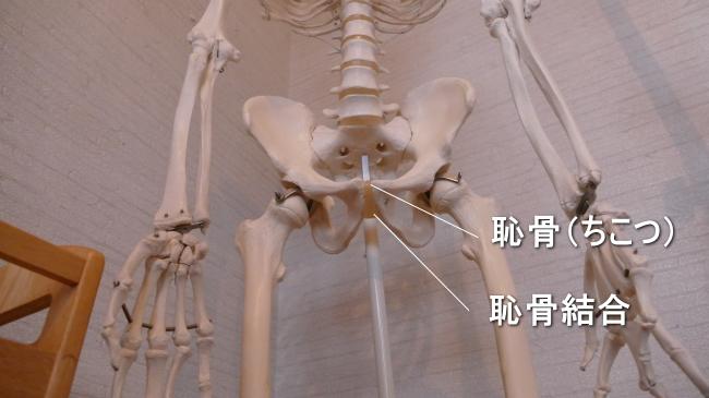 足の付け根の恥骨結合