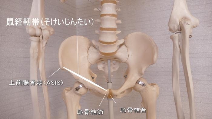 鼠経靭帯の場所