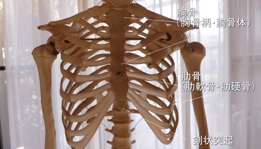 内腹斜筋が付着する肋骨