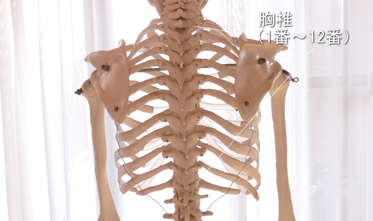 裏側から見た胸椎