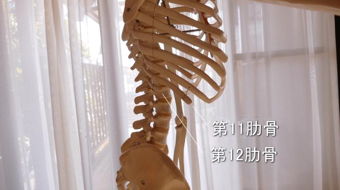 腹筋の付着する浮遊肋骨