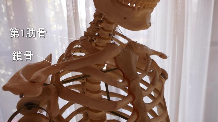 鎖骨と肋骨