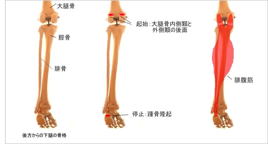 足首と腓腹筋