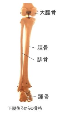 後脛骨筋が付着する下腿