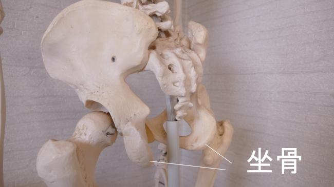 足の付け根の痛み・坐骨