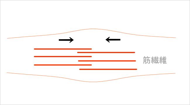 ストレッチの効果・筋線維