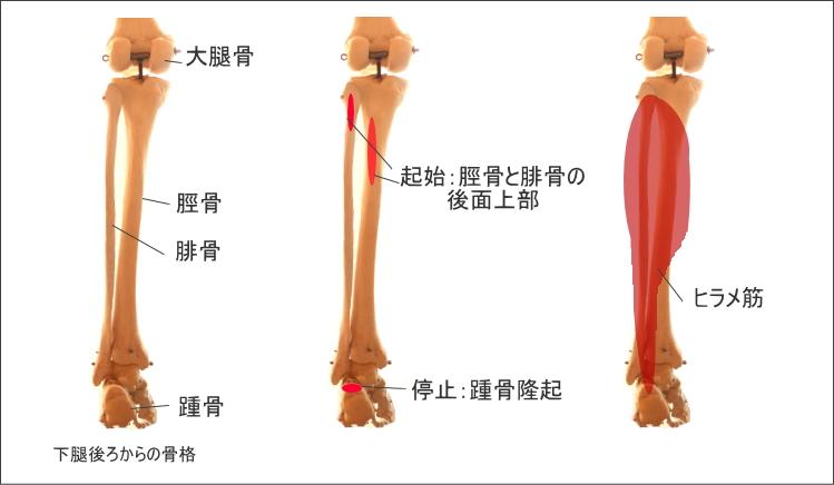 足首とヒラメ筋