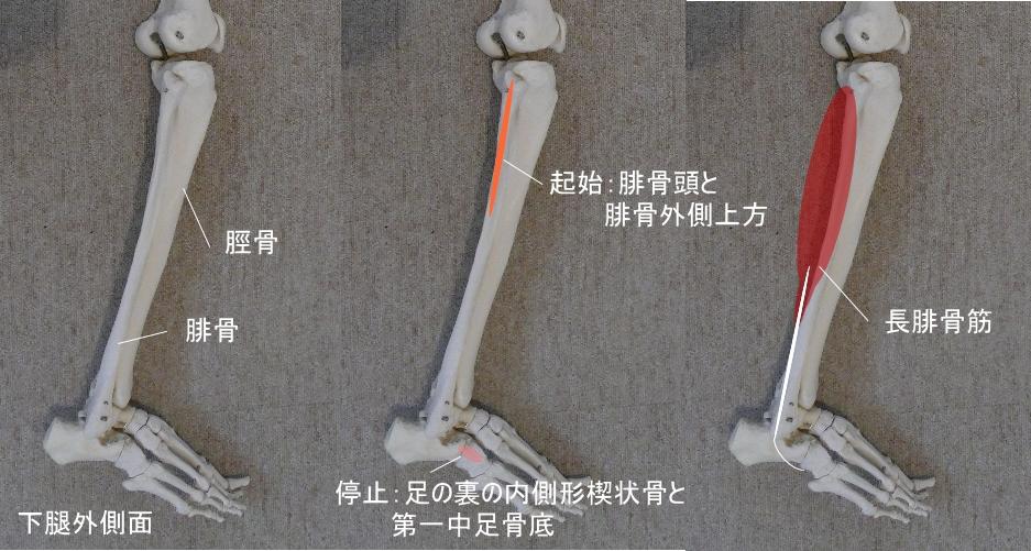 足首と長腓骨筋