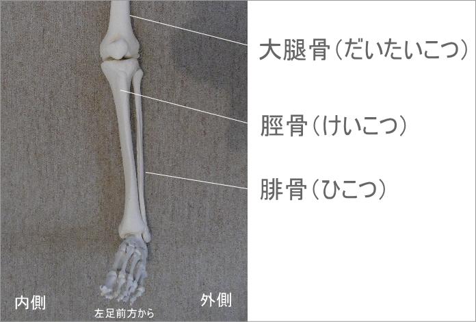 足首の骨。前方から