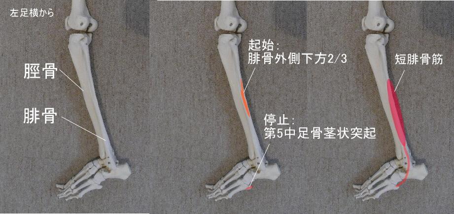 腓骨を起始とする短腓骨筋