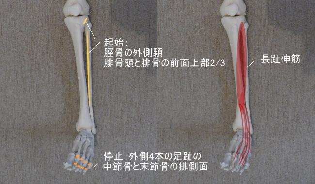 足首と長趾伸筋