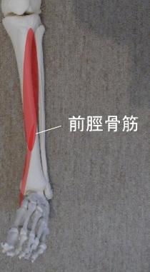 前脛骨筋の走行