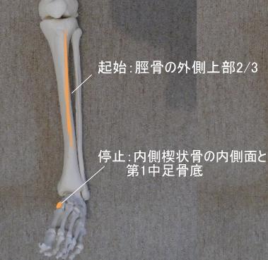 前脛骨筋の起始と停止