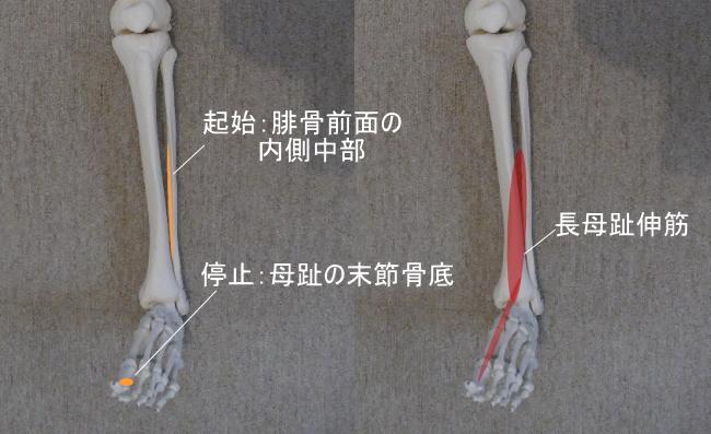 足首と長母趾伸筋