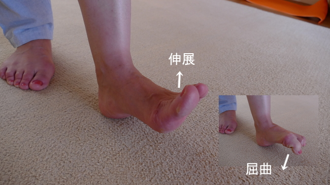 長趾伸筋の足の指の伸展