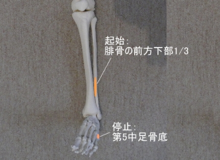 第3腓骨筋の起始と停止