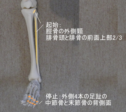 長趾伸筋の起始と停止