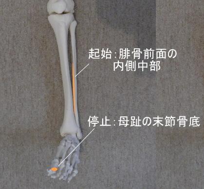 長母趾伸筋の起始と停止
