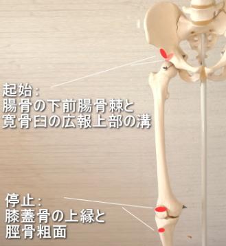 大腿直筋の起始と停止