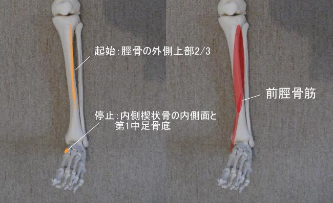 足首と前脛骨筋