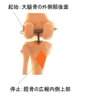 膝窩筋の起始と停止