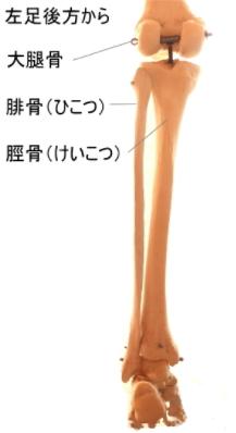 膝窩の骨格