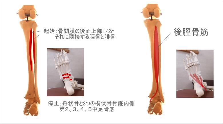 足首と後脛骨筋