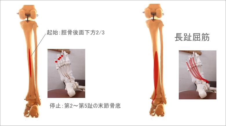 足首と長趾屈筋