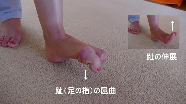 長母趾屈筋と屈曲