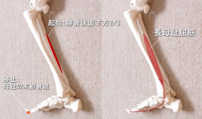 足首と長母趾屈筋