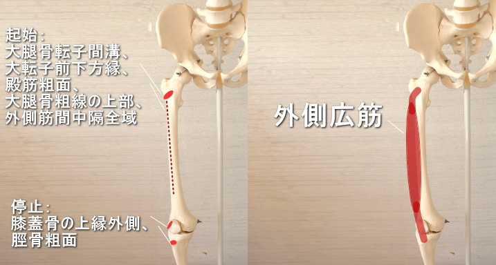 膝蓋骨に停止する外側広筋