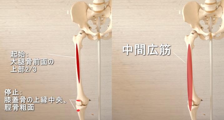 膝蓋骨に停止する中間広筋