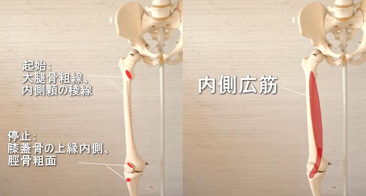 膝蓋骨に停止する内側広筋