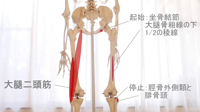 ひかがみの外側の大腿二頭筋